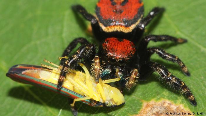 مکڑیاں انسانوں سے دگنا گوشت کھاتی ہیں
