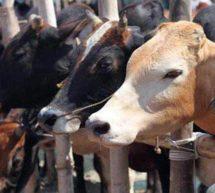 ذبح کے لئے گائے بھینس کی خرید و فروخت پر پابندی