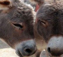 عراق میں داعشی بھیڑیوں نے گدھوں کا استعمال شروع کردیا