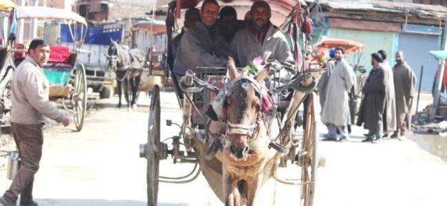 کشمیر میں تانگہ سواری کا کلچر اب بھی زندہ، مگر آخری سانسیں لے رہا ہے