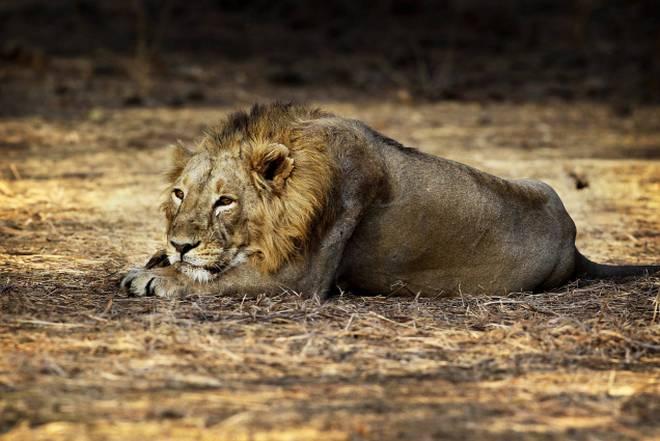 گر جنگلات میں ایک اور شیر کی موت