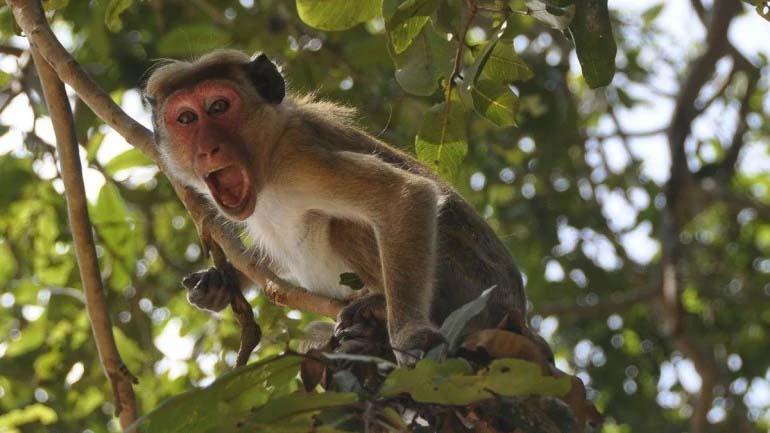 کووِڈ 19 کا قہر- میڈیکل کالج میں بندروں نے لیب ٹیکنیشین سے چھینے کورونا وائرس ٹیسٹ سیمپل